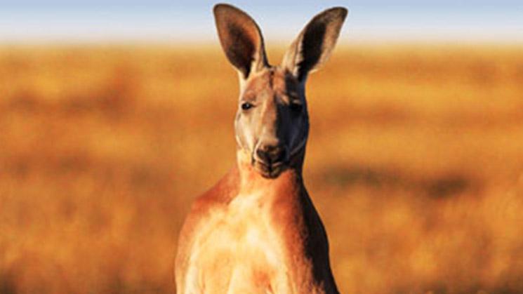وايلد أستراليا